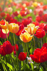 Foto op Aluminium Lente Group of colorful tulips lit by sunlight. Soft selective focus, tulips close up, toning. Bright colorful tulip photo background
