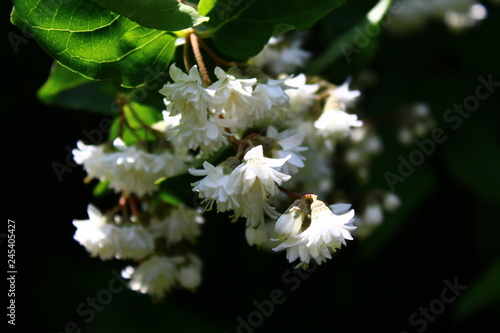 Jasmin Im Garten Stock Photo And Royalty Free Images On Fotoliacom