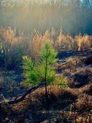 A sapling pine tree lit by the evening sun.