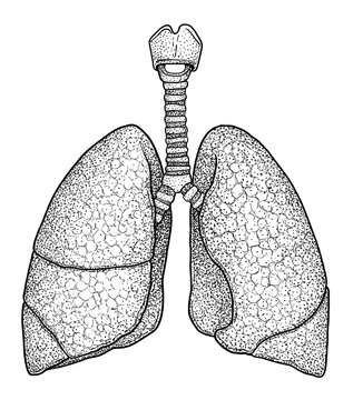 Human lung illustration, drawing, engraving, ink, line art, vector