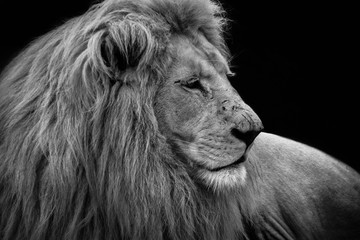 The lion (Panthera leo) is a species in the family Felidae; it is a muscular, deep-chested cat with a short, rounded head, a reduced neck and round ears, and a hairy tuft at the end of its tail.