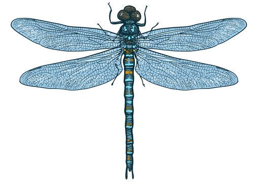 Dragonfly illustration, engraving, drawing, ink, vector