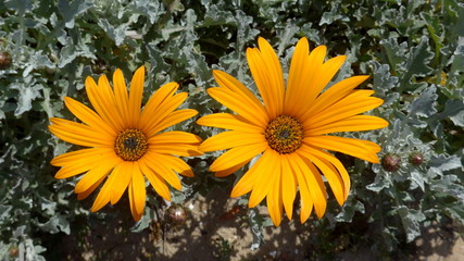 Two beautiful yellow flowers. Macro of the African Daisy, the Cape Marigold (Dimorphotheca sinuata)