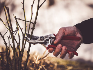 hand holding a pruning shear to cut roses