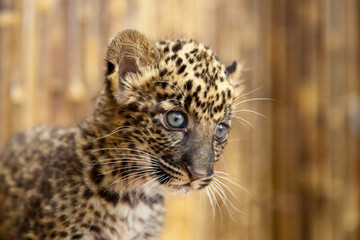 An African leopard cub with a curious look on its face