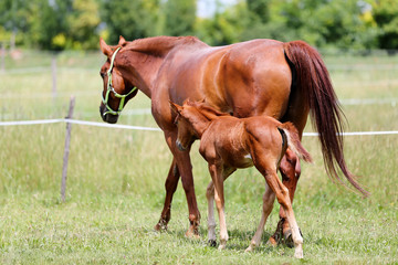 Beautiful mare and foal running together on summer meadow of flowers