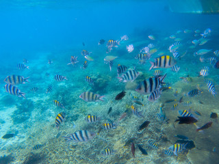 Underwater landscape with coral reef. Striped dascillus fish school. Tropical fishes in blue water. Coral diverse sea bottom