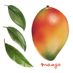Hand drawn mango clip art, realistic illustration