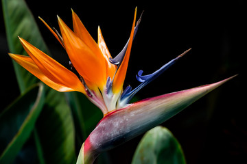 Bird of Paradise ©2018 Ranae Keane-Bamsey Photography www.EMotionGalleries.com