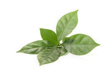 leaf fresh coffee on white background