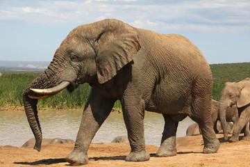 Large African elephant bull walking near waterhole.