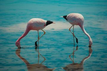 Flamingos do atacama