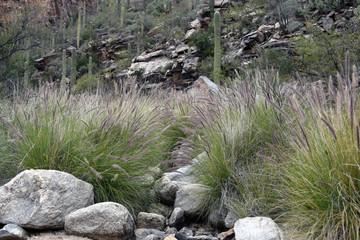 Saguaros and fountaingrass near rocky dry stream in Ventana Canyon in Tucson Arizona