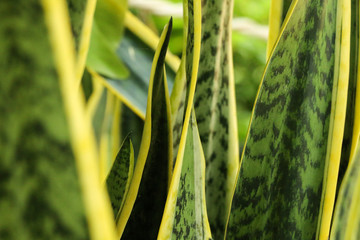Bowstring hemp for herb