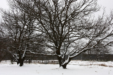 On the river bank single beautiful old oaks and pure white snow create an improbable picture of natural color contrast.