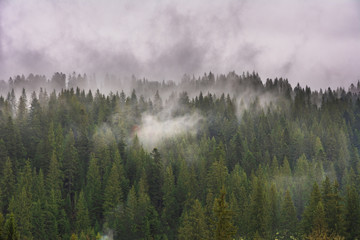 Poster Morning with fog Carpathian spring forest with wrapped fog trees and fires.