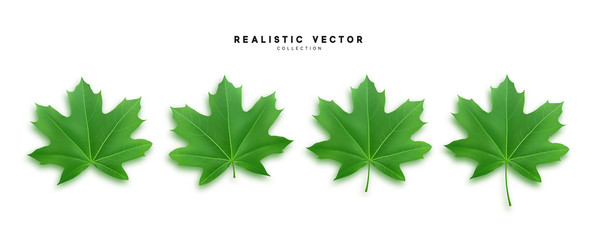 Set of green maple leaves, isolated on white background