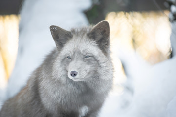 A beautiful pastel fox in the snow