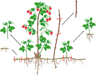 Raspberry vegetative reproduction scheme. Raspberry shrub with red berries, root system and green leaves isolated on white background