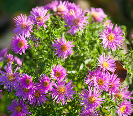 autumn aster flowers pattern sunny closeup view
