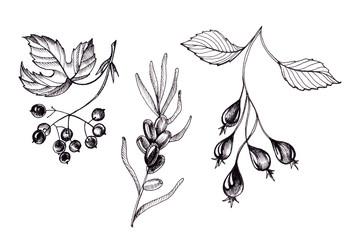 Botanical monochrom set of wild berries.
