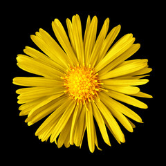 yellow flower isolated on  black background. Close-up. Nature.