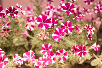 Beautiful spring petunia flower for background