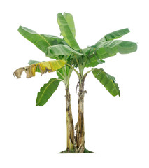 Banana tree isolated on white background with clipping paths