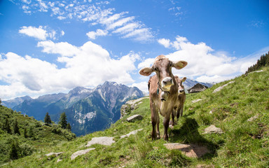 Happy cows in the Alps Wall mural