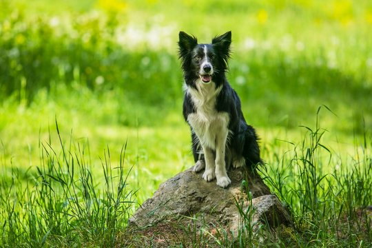 Adorable young black and white border collie dog sitting on a piece of rock, open mouth, green grass with flowers in background, sunny spring day in a park
