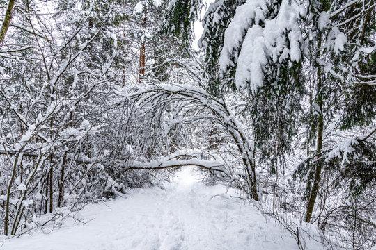 Bäume im Winter knicken unter Schneelast ein