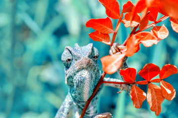 Aluminium Prints Butterfly Beautiful green chameleon - Stock Image