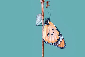 Self adhesive Wall Murals Butterfly Amazing moment ,Monarch butterfly emerging from its chrysalis