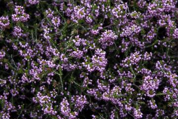 purple medicinal flowers background