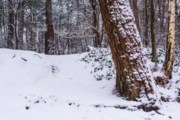 white snowy forest landscape, white hill and tree trunk covered in white snow, the dutch woods of the Netherlands