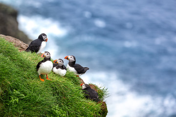 Puffins at the Faroe Islands, wild Europe. Mykines Island Wall mural