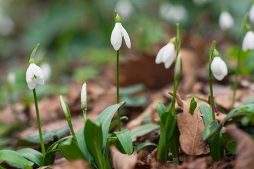 snowdrops in spring forest. first flowers pattern