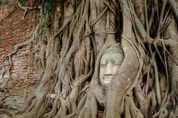 Tree root grow cover ancient buddha statue at Mahatat Temple, Ayuttaya, Thailand.