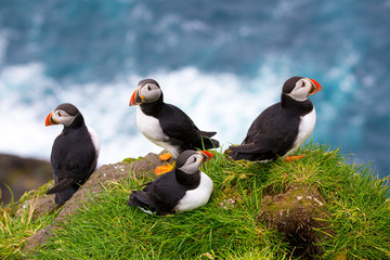 Puffins at the Faroe Islands, wild Europe. Mykines Island
