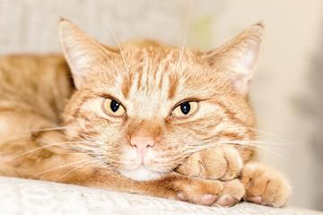 Gelbe Katze entspannt 1