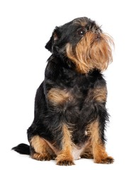 Belgian Griffon, Brussels Griffon dog on Isolated white Background in studio