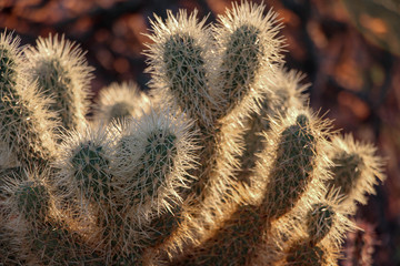Close up on a Teddy Bear Cholla catus in North Scottsdale
