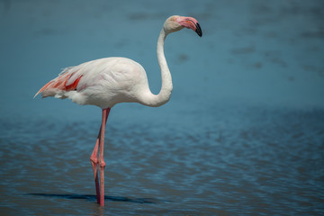 Wall Mural - Single Wild Pink Flamingo Portrait