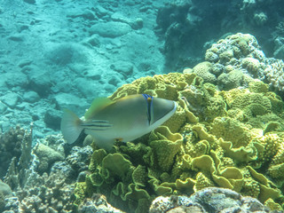 A Picasso triggerfish - an amazing representative of Red Sea underwater world is swimming in front of the picturesque coral rife near Princess Beach diving spot near Eilat (Israel) close to Taba