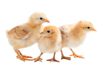 three small newborn chicken isolated