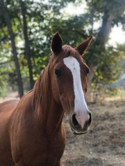 brown stallion horse close up