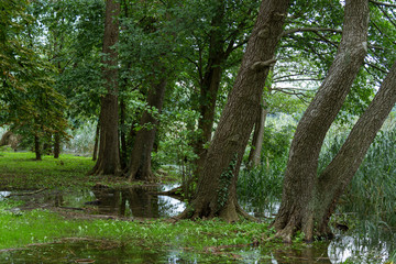 old trees European alder (Alnus glutinosa) on the shore of the lake