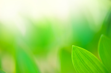 Green leaves of Solomon's Seal (Polygonatum odoratum). Focus on leaf tip and shallow depth of field.