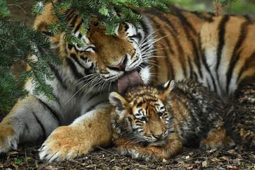 An Amur Tiger cub born in Dublin Zoo, the largest big cat in the world, is seen publicly for the first time in Dublin