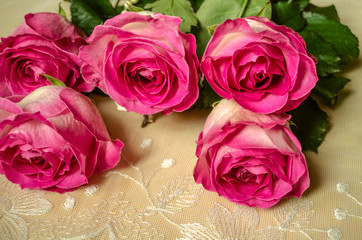 Large heads of undiscovered large gorgeous white roses with petals covered on the edge of the pink border, lies on the openwork fabric